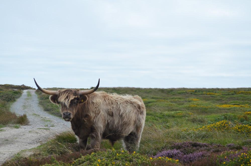 Lundy Island Cow