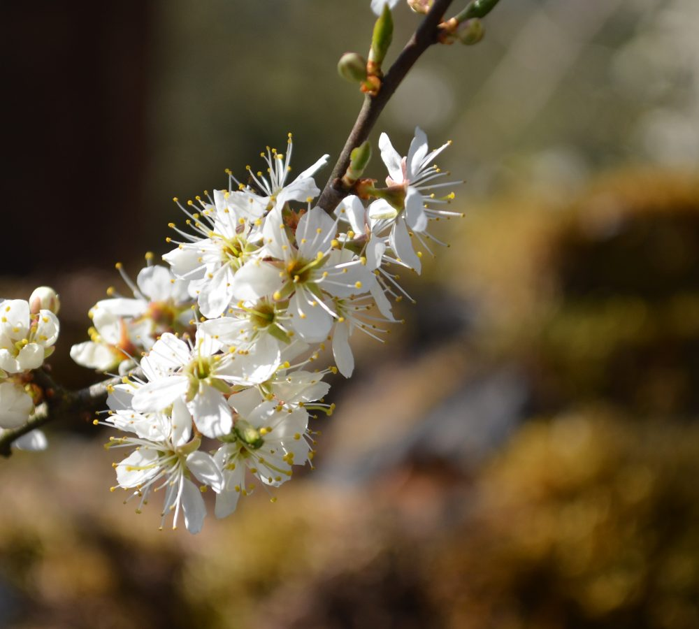 Spring blossom Lake District