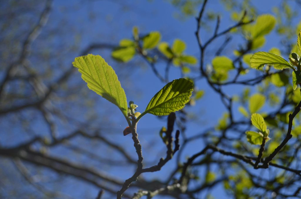 Spring leaves Lake District