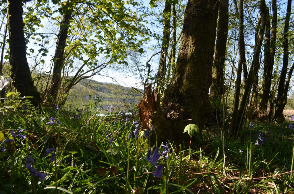 Bluebells Lake District