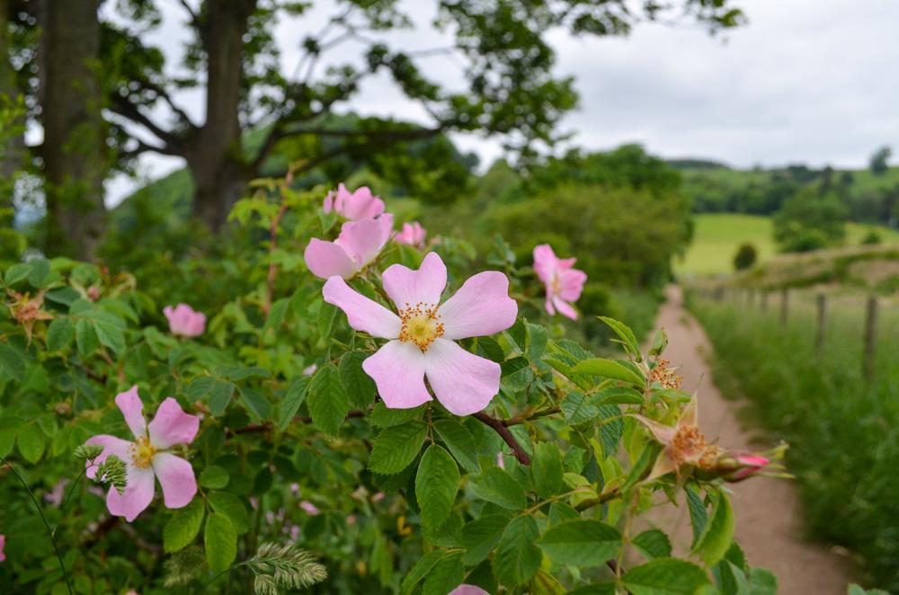 Dog Rose on the Ullswater Way