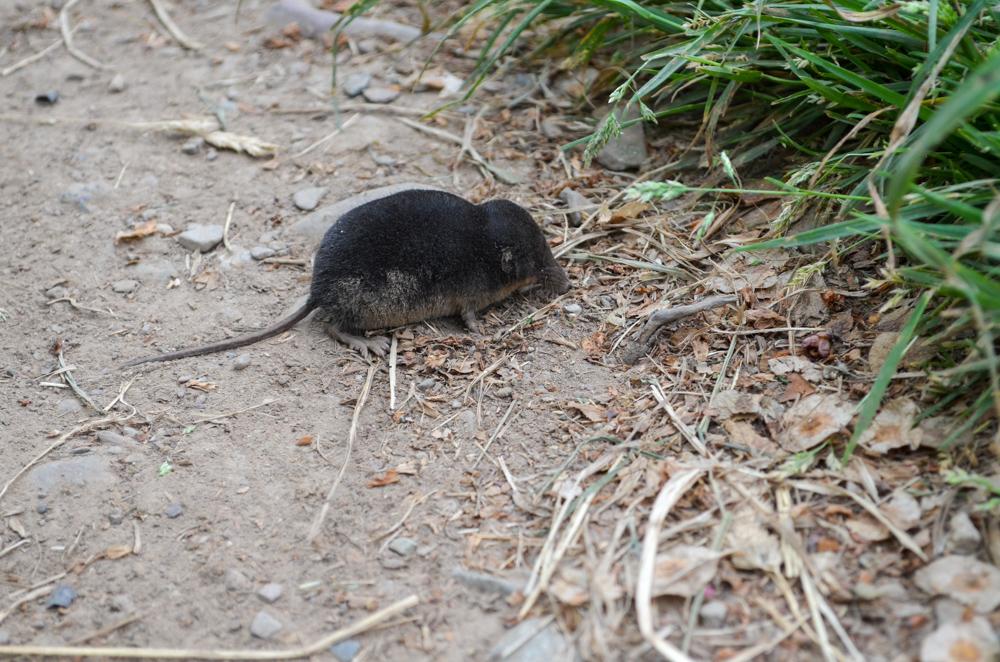 Mole on the Ullswater Way