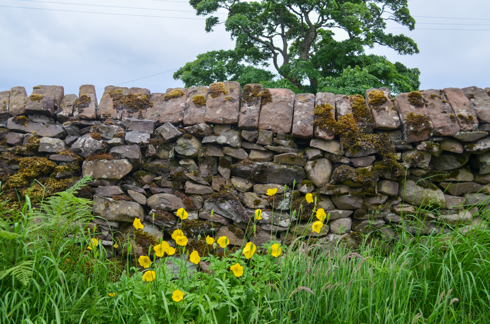 Welsh Poppies on the Ullswater Way