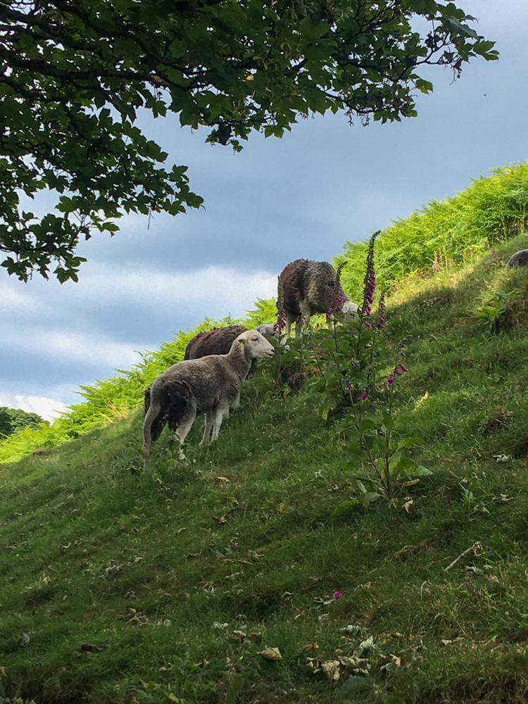 Herdwicks on the Ullswater Way